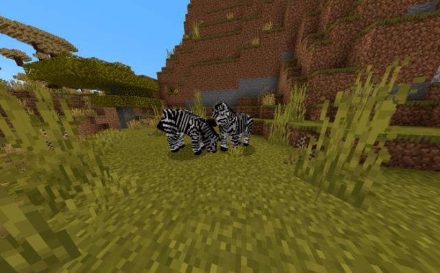 Two zebras eat grass